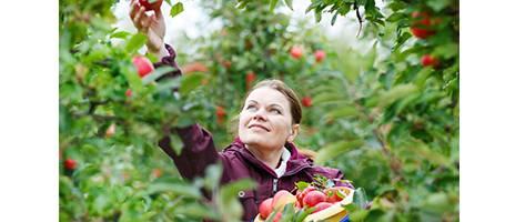 Apple picking cider press